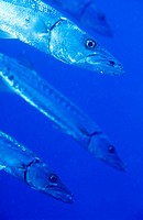 Great Barracudas (Sphyraena barracuda). Caribbean