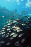 Schooling Grunt. Florida. USA