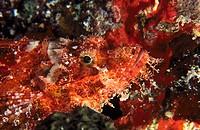 Tassled Scorpionfish (Scorpaenopsis oxycephalus)