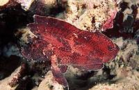 Leaf Scorpionfish (Taenianotus triacanthus). Pacific Ocean