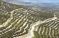 Olive grove. Jaén province. Spain
