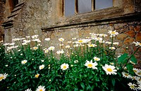 Daises in garden in front of a church window. Trunbridge Wells. Kent. UK