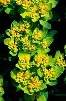 Cushion Spurge (Euphorbia polychroma). Canada