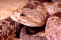 Mexican West Coast Rattlesnake (Crotalus basiliscus)