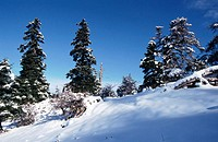 Abies pinsapo in winter. Sierra de las Nieves Natural Park. Malaga province. Andalusia. Spain