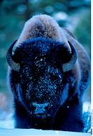 Prairie bison