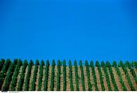 Vineyard, Wine growing, Tendrils, Vines