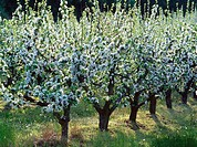 Apple trees plantation in Skane. Sweden