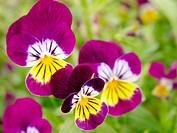 Pansy (Viola tricolor)