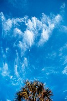 Palm tree with cirrus clouds. Panama City beach. Florida. USA
