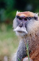 Patas Monkey (Erythrocebus patas)
