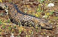 Shingleback (Tiliqua rugosa)