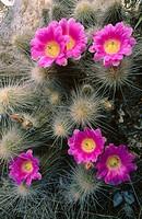 Hedgehog cactus (Echinocereus engelmannii). Mexico