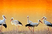 Storks at Doñana National Park. Huelva province. Spain
