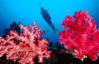 Diver and soft corals (Dendronephthya sp.). Russell Island. Solmon Islands