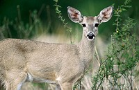 White-tailed deer (Odocoileus Virginianus). Big Band National Park. Texas. USA