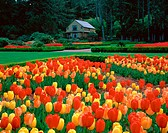 Spring tulips and garden cottage. Shore Acres State Park. Southern Oregon Coast. USA