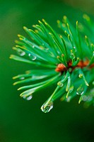 Pine needles with water drops