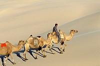 Camel caravan. Khongoryn Els Dune. Gobi Desert. Gobi National Park. Omnogov province. Mongolia