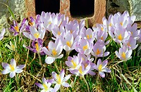 Crocuses in backyard
