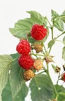 Red Raspberry (Rubus idaeus)