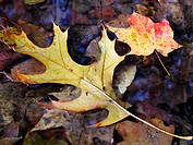 Oak (Quercus sp.) and maple (Acer sp.) leaves floating in woodland creek. Appalachian foothills, Southeast Ohio. USA