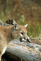Mountain Lion (Felis concolor). Minnesota. USA
