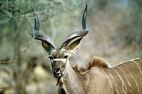 Greater Kudu (Tragelaphus strepsiceros) young buck. Etosha National Park. Namibia
