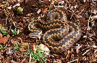 Female Common Adder (Vipera berus). Yorks. UK
