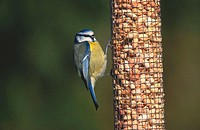 Blue Tit (Parus caeruleus) on peanut feeder