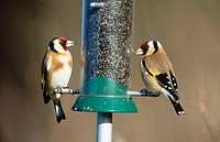 Goldfinch (Carduelis carduelis) on feeder