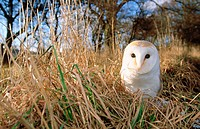 Barn owl (Tyto alba), male. UK