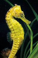 Longsnout seahorse (Hippocampus reidi) from Brazil. In captivity at the Texas State Aquarium.