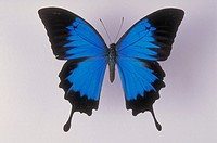 Top view male of Blue Mountain Swallowtail Butterfly (Papilio ulysses autolycus) from New Guinea.