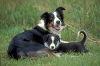 Border Collie with puppy.