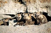 Spotted Hyenas (Crocuta crocuta). Masai Mara Wildlife Reserve. Kenya