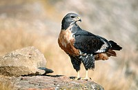 Jackal Buzzard (Buteo rufofuscus). Giant's Castle Nature Reserve. South Africa