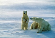 Polar bear sow and cubs (Ursus maritimus) standing to watch approaching bear. Churchill, Manitoba, Canada