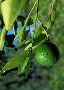 Lime hanging on lime tree