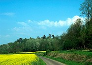 Road through field with field of rapeseed and trees (thumbnail)