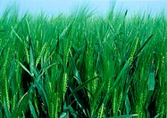 France, Picardy, green wheat in field, close-up