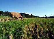 Indonesia, Buffalo grazing in field, blurred motion