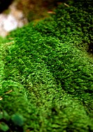 Green moss, close up