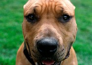 Dog with wrinkled brow, face