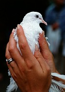 Woman's hands holding white dove, close-up