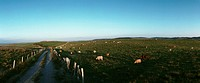 France, livestock in fields of grass, panoramic view