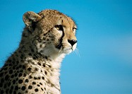 Africa, Kenya, cheetah, focus on head