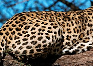 Africa, Namibia, leopard, focus on rear