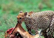 Africa, Tanzania, cheetah devouring prey