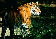 India, tiger